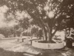 კაკლის ხე ილიას საგურამოს სახლის ეზოში