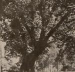 კაკლის ხე ილიასეულ ეზოში